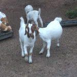 Boer-Goats