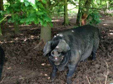 Large Black Pigs