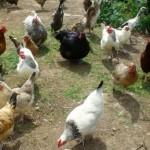 Edfords-Laying-Flock