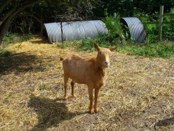 Golden Guernsey Goats
