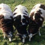 Jacobs Sheep