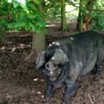 Large Black Pigs