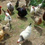 Poultry and Waterfowl
